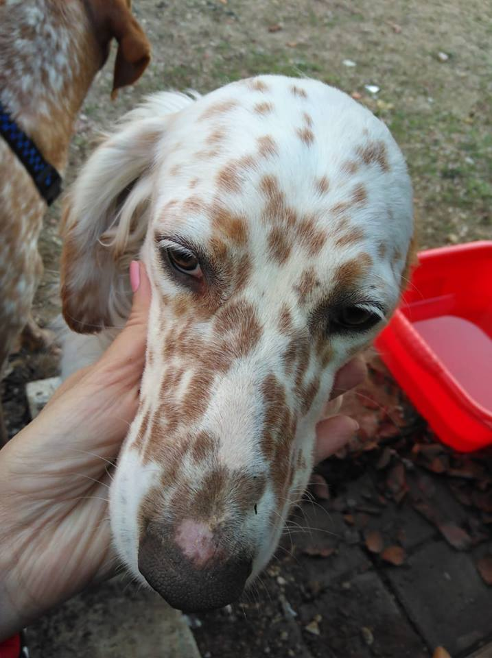 Tommy English Setter