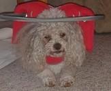 Blind Poodle Charlie