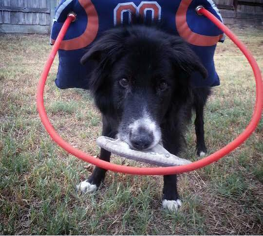 Linus Blind Border Collie Halo