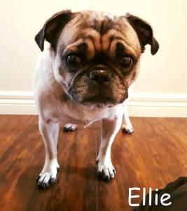 Ellie Blind Pug SARDS Halo Bumper