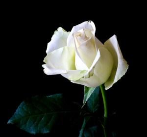 rose-342526_1280 kind