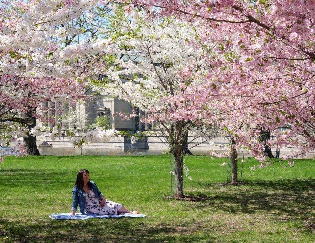 CherryBlossomsChicago12.jpg