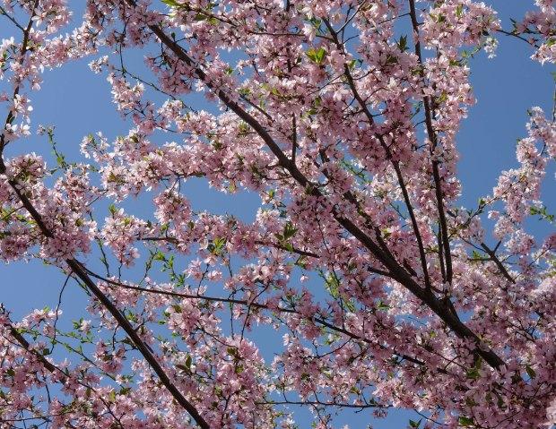 CherryBlossomsChicago3.jpg