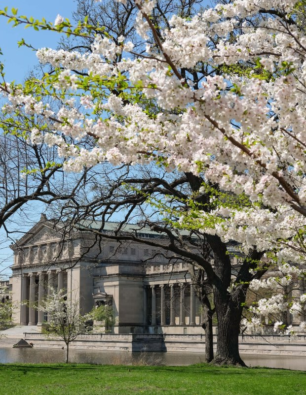 CherryBlossomsChicago4.jpg