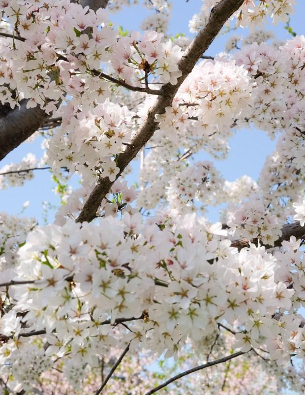 CherryBlossomsChicago9.jpg
