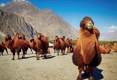 Mongolian Backtrian Camel