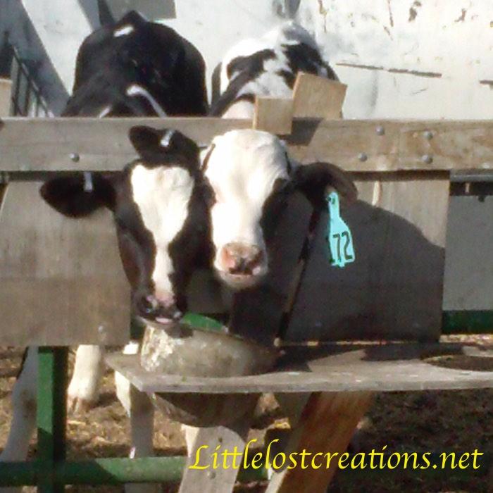 Two headed calf monster.