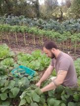 Farmer Wes picking beans