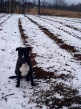 Utah inspects the garlic beds...finds all well