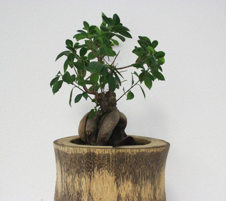 Bonsai Ficus Ginseng come curarlo Scopri come fare