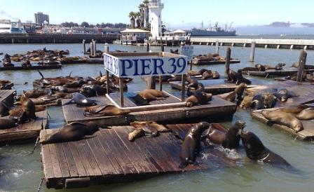 california sea lions at pier 39 in san francisco