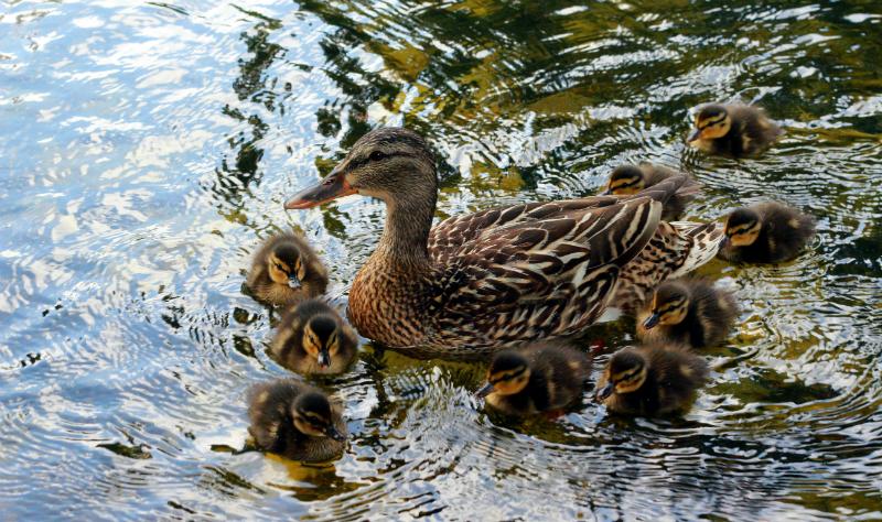 ducks at Planken en Blomen in Hamburg