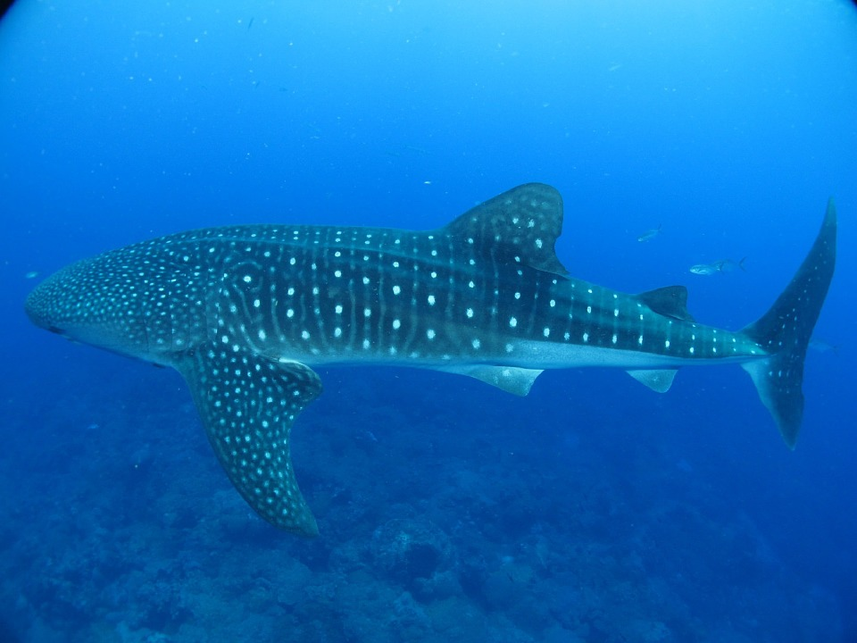whale shark watching in Cebu
