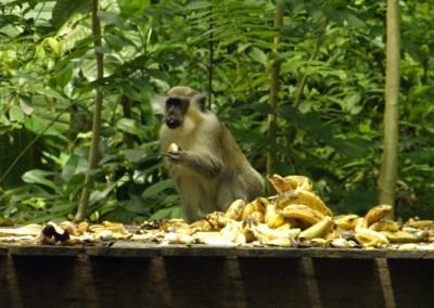 See wild monkeys