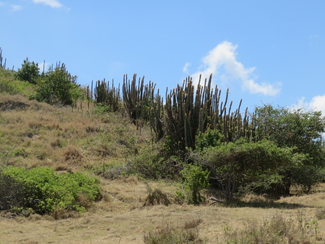windswept Barbados beach, cacti