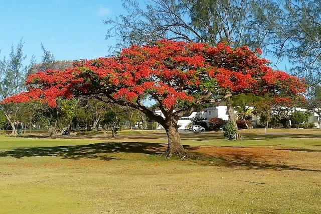 Flamboyant tree, Barbados