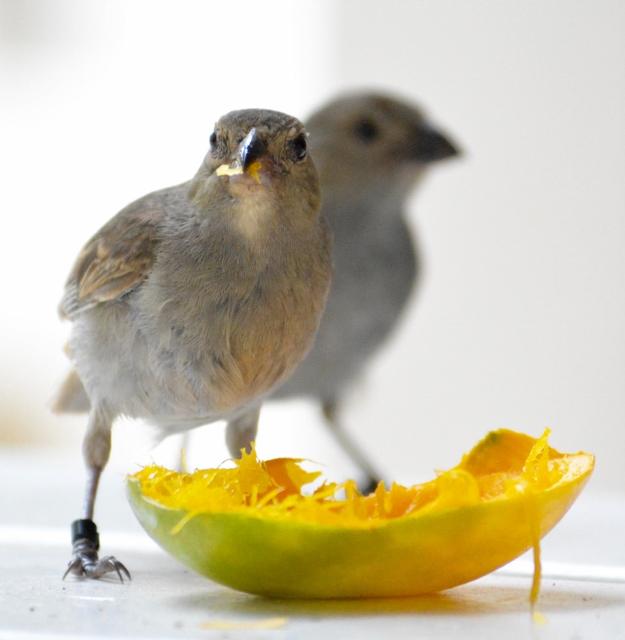 Birds of Barbados, bullfinch