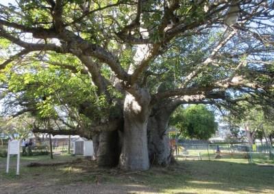 Unravel Baobab mystery