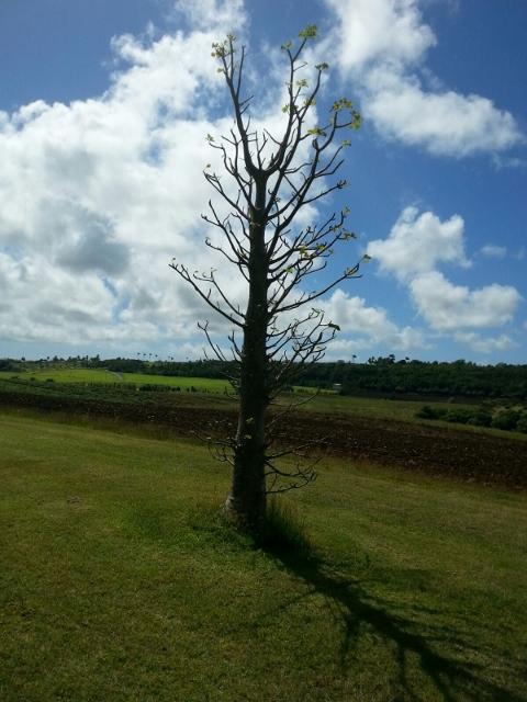 Queen's Park Baobab