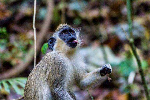 Barbados monkeys