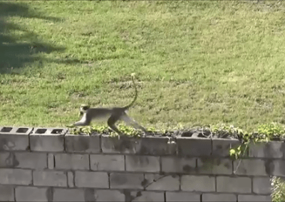 Watch the cheeky monkey