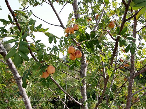Oskorusa or Service Tree