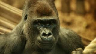 gorilla-escape-zoo