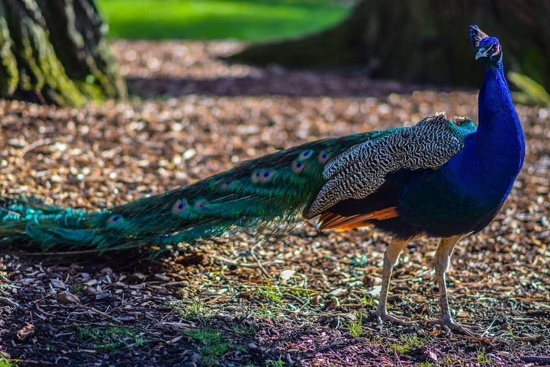 kyoto-garden-peacock-pose