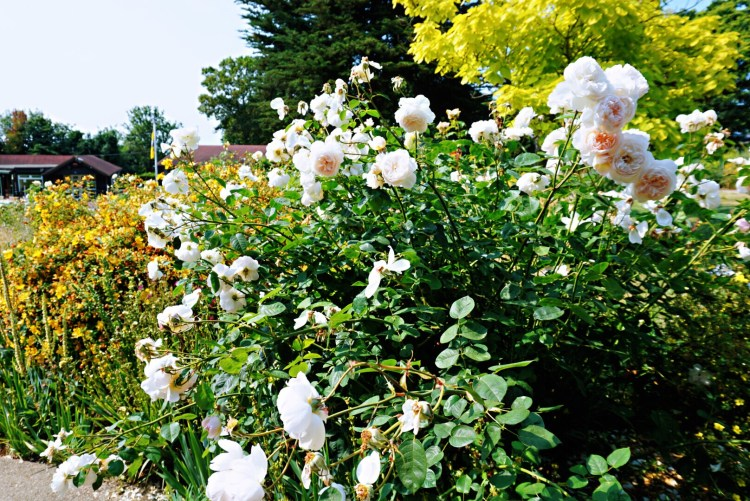 Beautiful roses - Whitstable day trip seaside town things to do