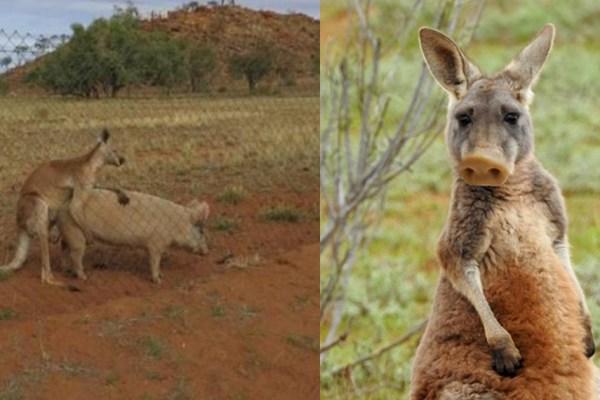 Zoologie hybride : le Pigaroo, premier croisement réussi entre un porc et un kangourou