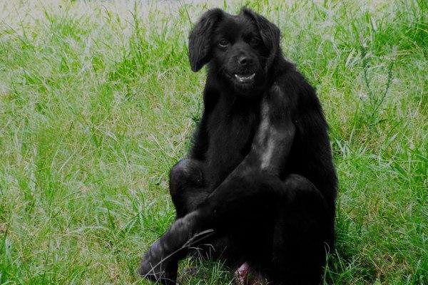 Le sienche gabonais : premier croisement réussi entre un chien et un chimpanzé, développé pour le déminage antiterroriste