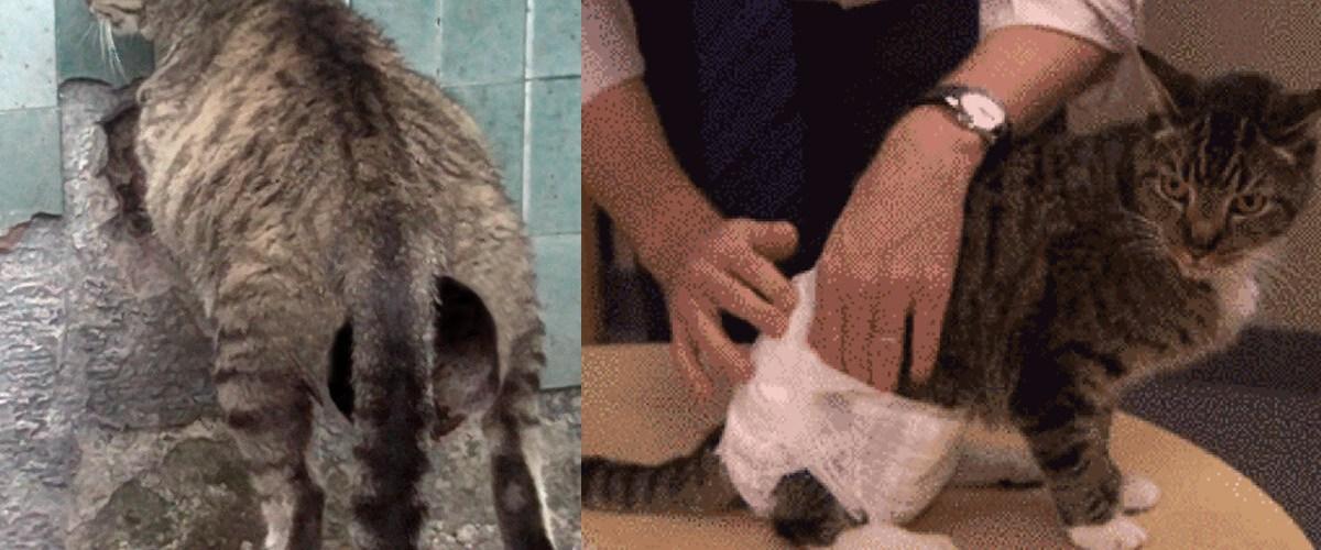 Violé pendant des années par son propriétaire, ce chat doit désormais porter des couches