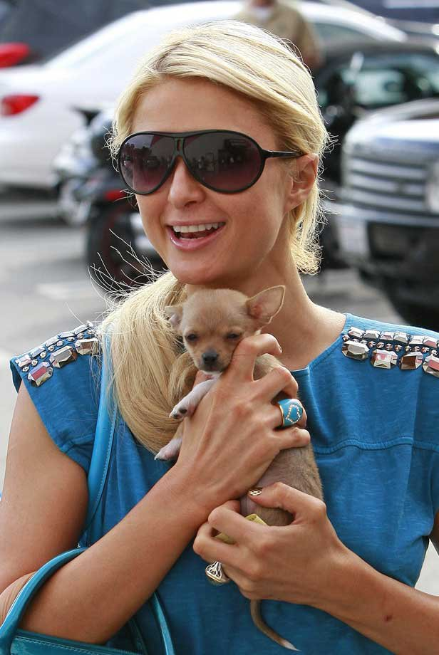 parishiltonok Transgenre canin : Peter Pan le chien de Paris Hilton va suivre un traitement hormonal pour devenir une femelle