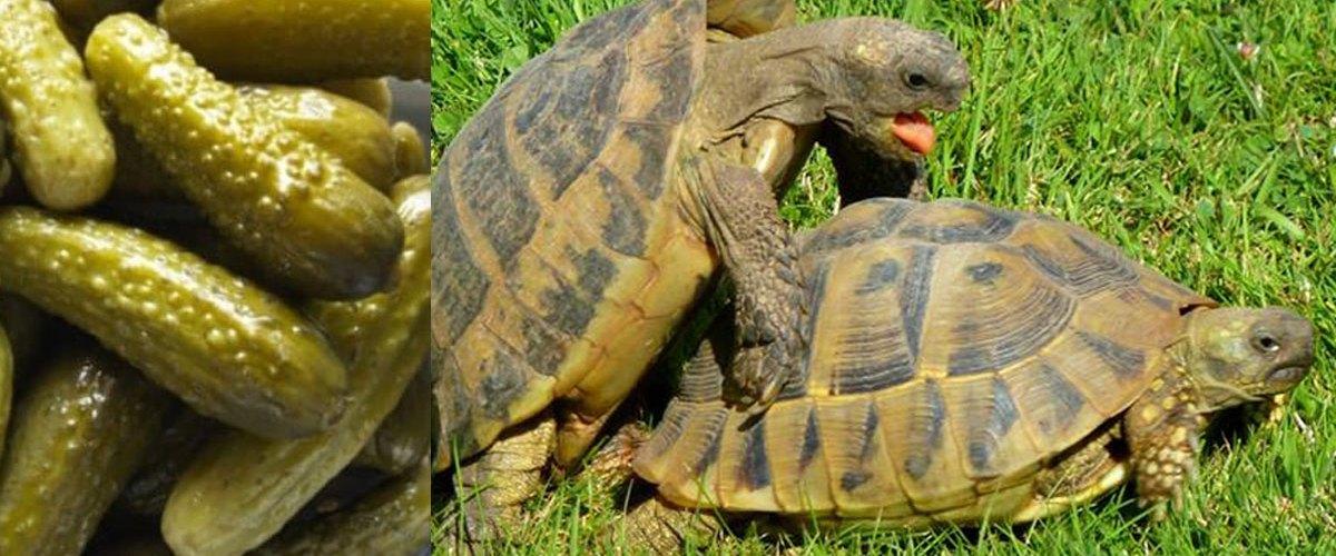 Alerte : 45% des cornichons vendus en Europe sont des pénis de tortues