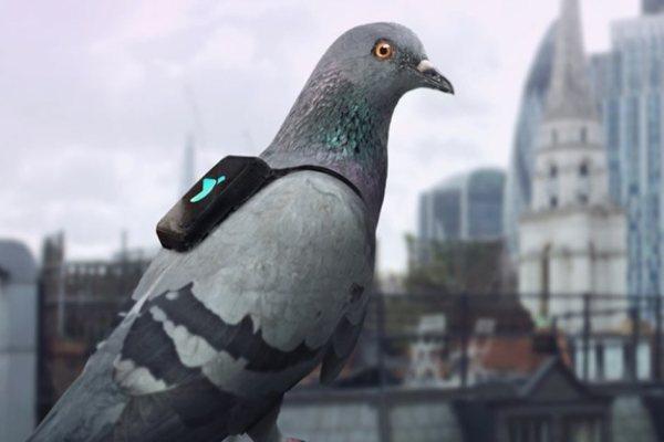 Bientôt des milliers de pigeons pour espionner la population et enregistrer nos conversations