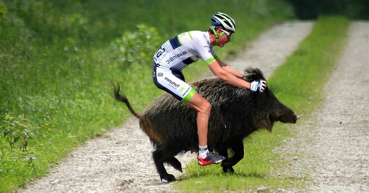sanglier-velo-chasse Tour de France : déjà trois coureurs abattus par des chasseurs