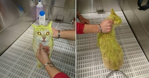 chat-peinture-jaune Les ADN des donateurs de la cagnotte Dettinger comparés avec ceux des agresseurs du chat de Marlène Schiappa