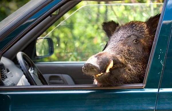 Un sanglier réussit à s'enfuir en volant la voiture d'un chasseur