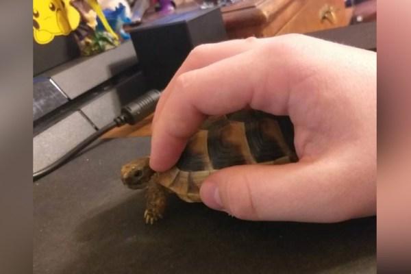 Des tortues pour remplacer les souris dans les EHPAD