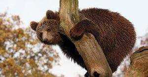 Chasse à la glu : de nombreux ours pris au piège dans les Pyrénées