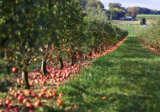 apple orchard (1)