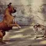 Perro que avanza, gato que maulla
