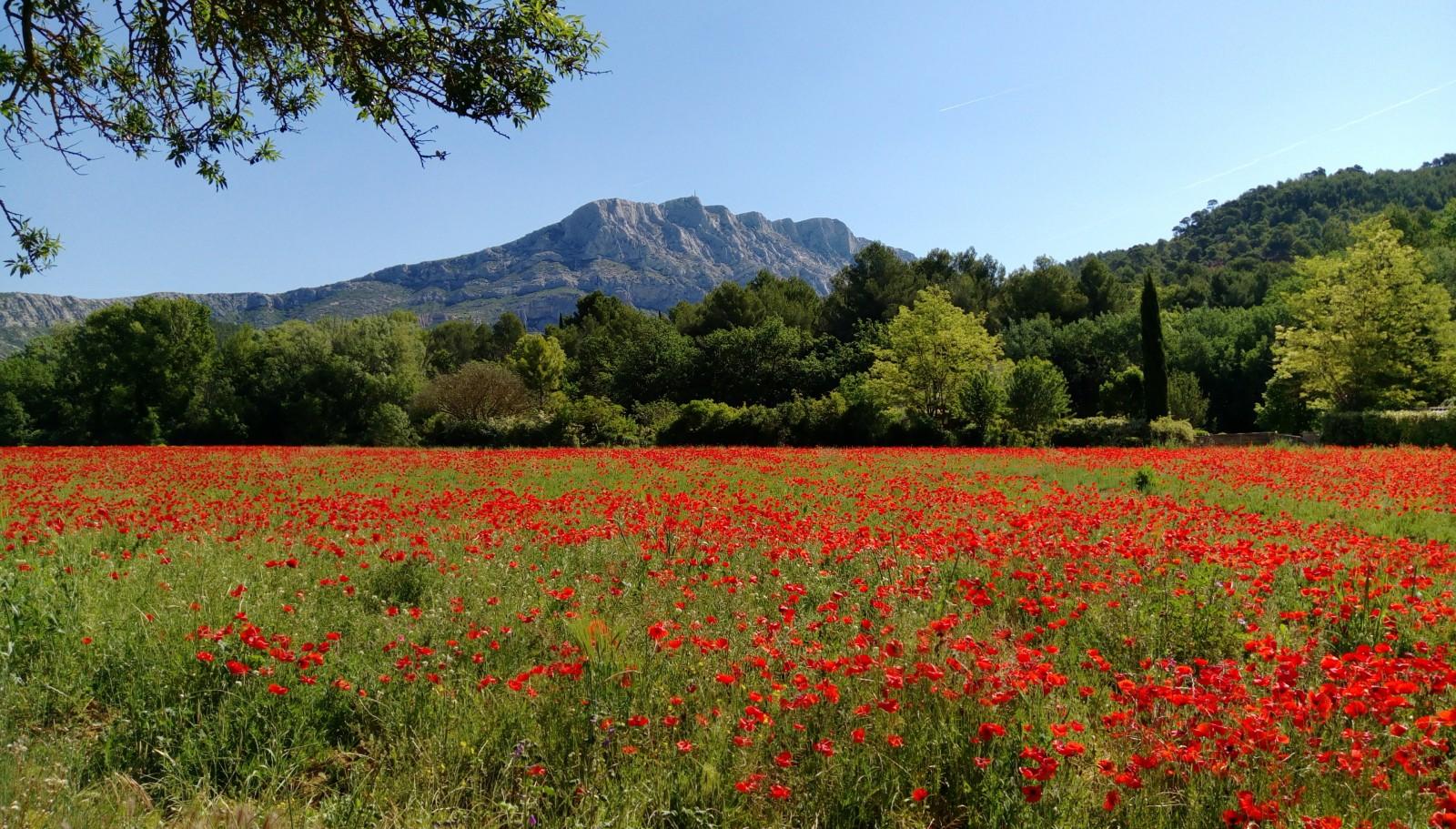 Fleurs et montagne Sainte-Victoire