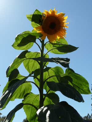 NJGiantSunflower