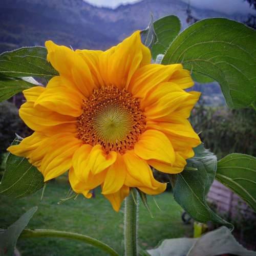 secret sunflower