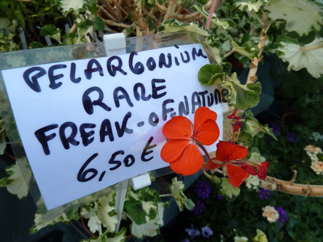 freak of nature geranium