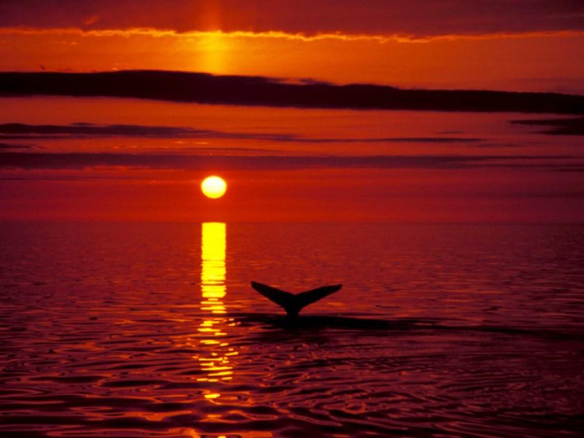 Hvalaskoun fr· H˙savÌk. Humpback whale in the midnight sun