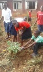Harvesting egg plant