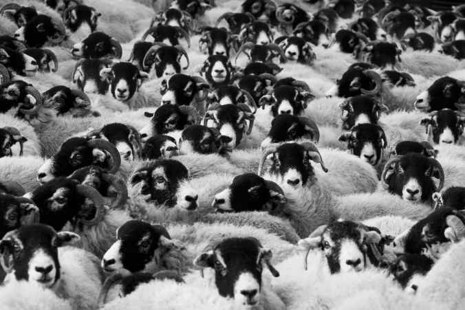 sheep-agriculture-animals-countryside-87081