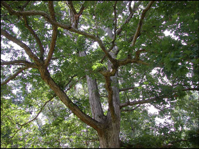 Key to Diseases of Oaks in the Landscape  UGA Cooperative